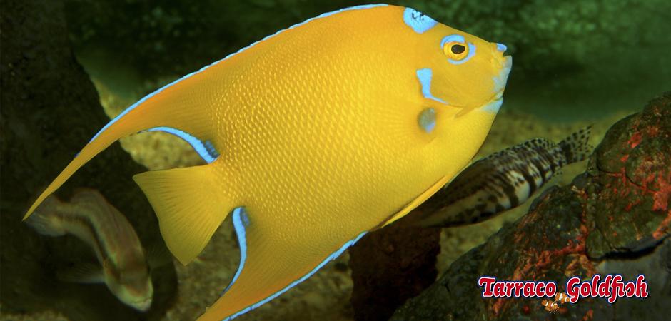 Ciliaris TarracoGoldfish