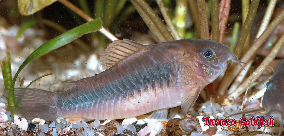 http://www.tarracogoldfish.com/wp-content/uploads/2015/03/Corydoras-aeneus-1-TarracoGoldfish.jpg
