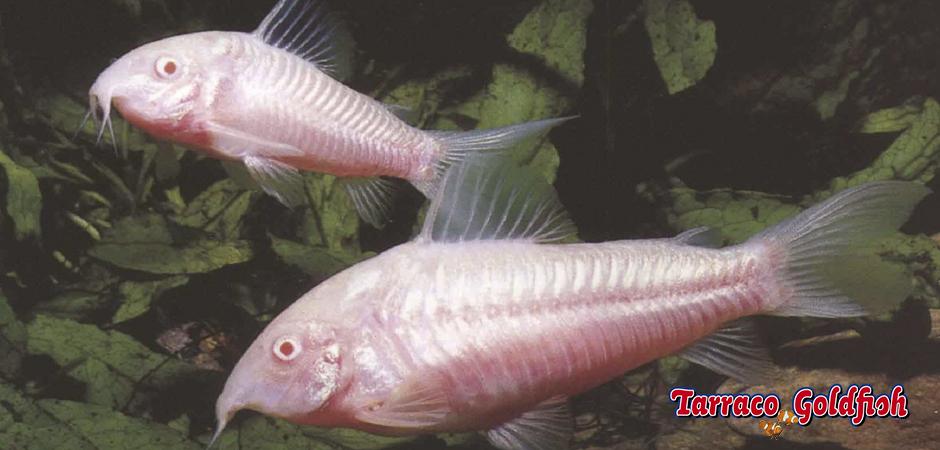 http://www.tarracogoldfish.com/wp-content/uploads/2015/03/Corydoras-aeneus-2-TarracoGoldfish.jpg
