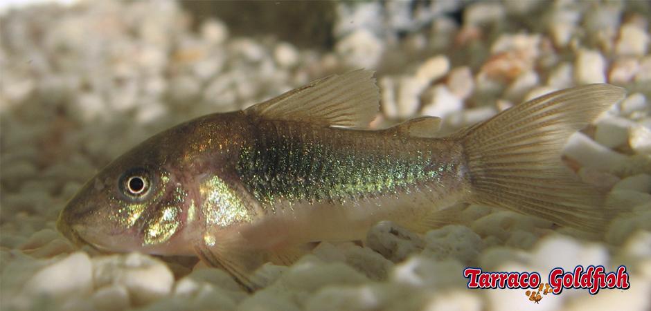 http://www.tarracogoldfish.com/wp-content/uploads/2015/03/Corydoras-aeneus-4-TarracoGoldfish.jpg