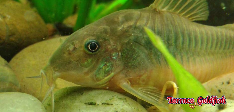 http://www.tarracogoldfish.com/wp-content/uploads/2015/03/Corydoras-aeneus-TarracoGoldfish.jpg