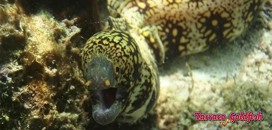 http://www.tarracogoldfish.com/wp-content/uploads/2015/03/Echnida-nebulosa-2-TarracoGoldfish.jpg