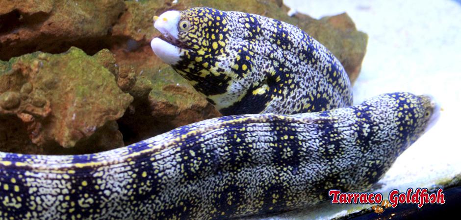 http://www.tarracogoldfish.com/wp-content/uploads/2015/03/Echnida-nebulosa-5-TarracoGoldfish.jpg