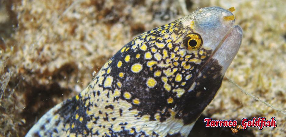 http://www.tarracogoldfish.com/wp-content/uploads/2015/03/Echnida-nebulosa-TarracoGoldfish.jpg