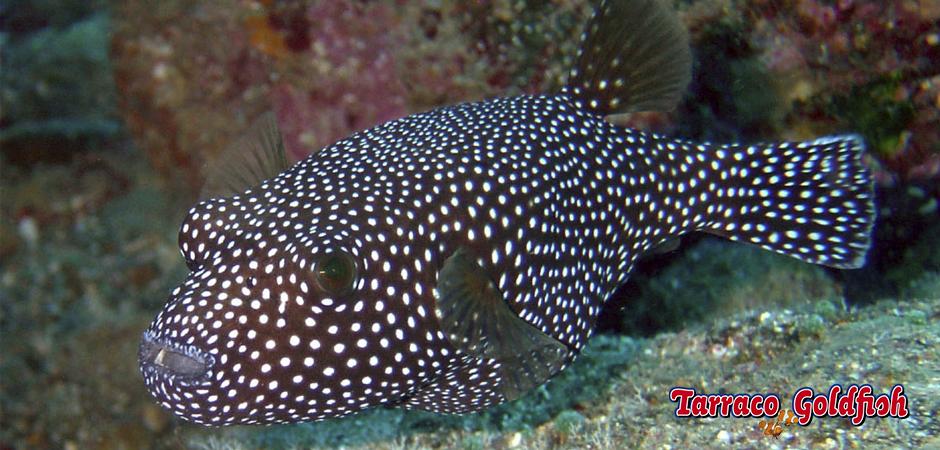 http://www.tarracogoldfish.com/wp-content/uploads/2015/03/arothron-meleagris-TarracoGoldfish.jpg