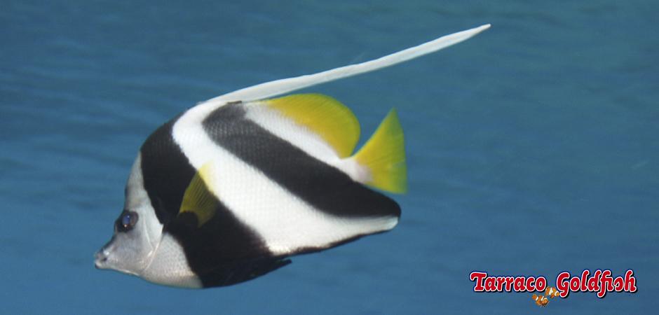 http://www.tarracogoldfish.com/wp-content/uploads/2015/05/Heniochus-acuminatus1.jpg