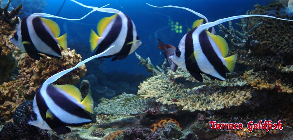 http://www.tarracogoldfish.com/wp-content/uploads/2015/05/Heniochus-acuminatus2.jpg