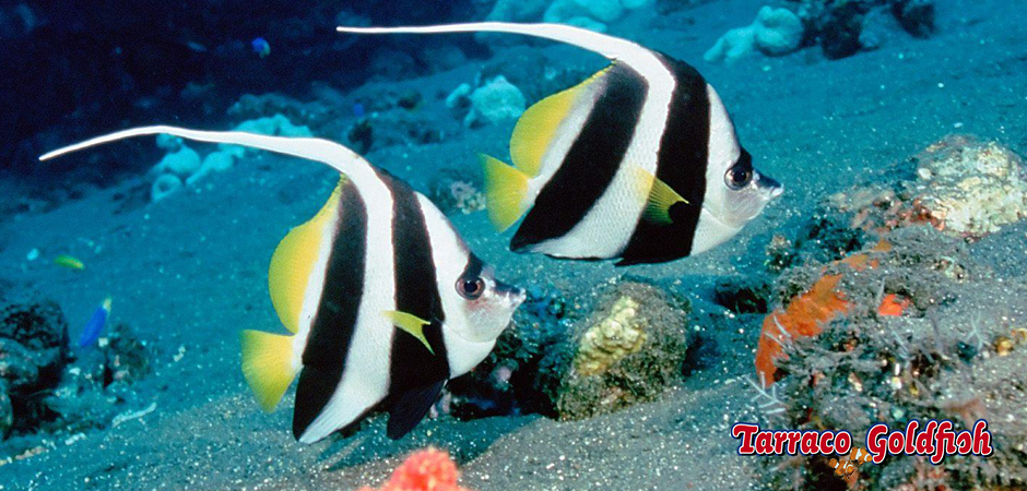 http://www.tarracogoldfish.com/wp-content/uploads/2015/05/Heniochus-acuminatus3.jpg