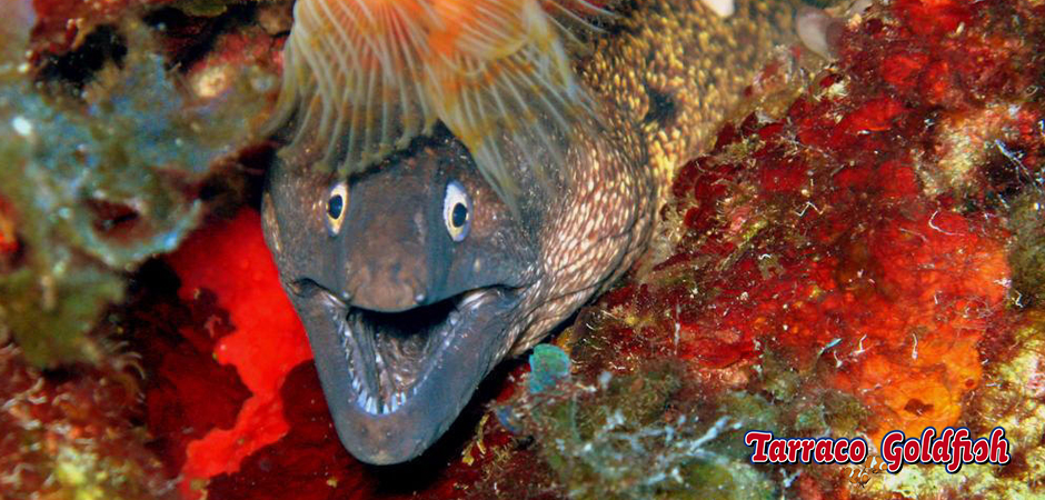 http://www.tarracogoldfish.com/wp-content/uploads/2015/05/Muraena-helena1.jpg