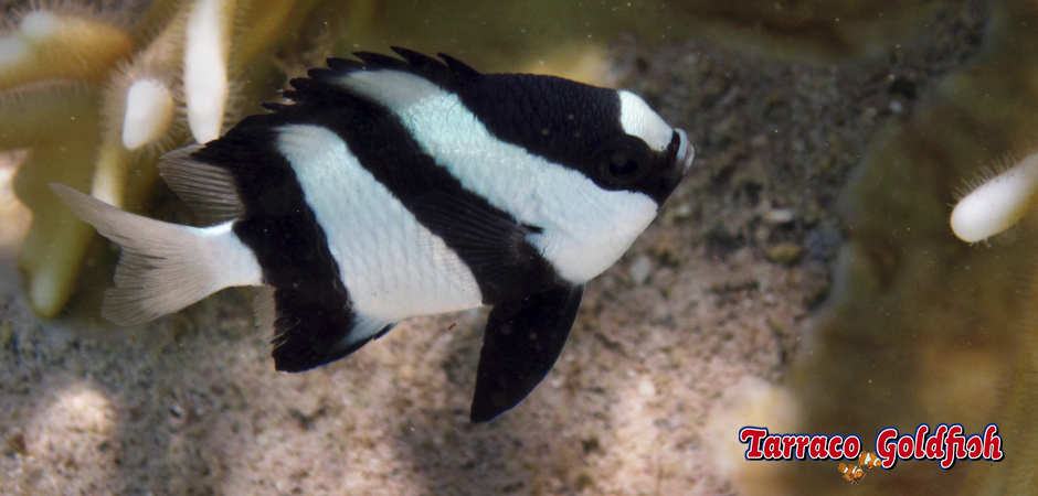http://www.tarracogoldfish.com/wp-content/uploads/2015/05/dascyllus-aruanus1.jpg