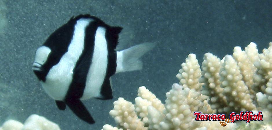 http://www.tarracogoldfish.com/wp-content/uploads/2015/05/dascyllus-aruanus2.jpg