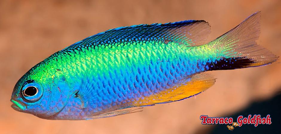 http://www.tarracogoldfish.com/wp-content/uploads/2015/06/Alleni-2-TarracoGoldfish.jpg