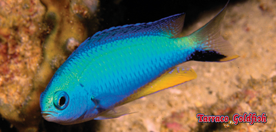 Alleni Tarraco Goldfish