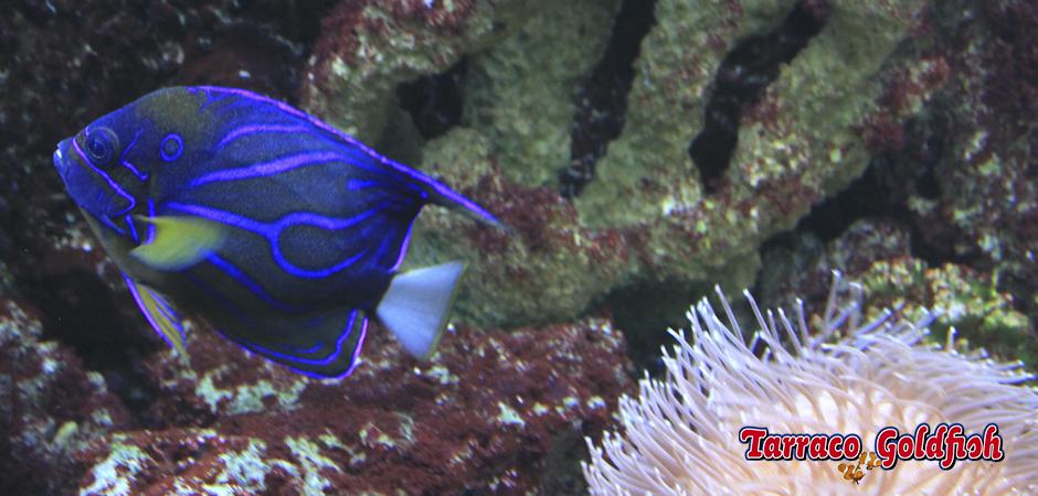 http://www.tarracogoldfish.com/wp-content/uploads/2015/06/Anularis-2-TarracoGoldfish.jpg