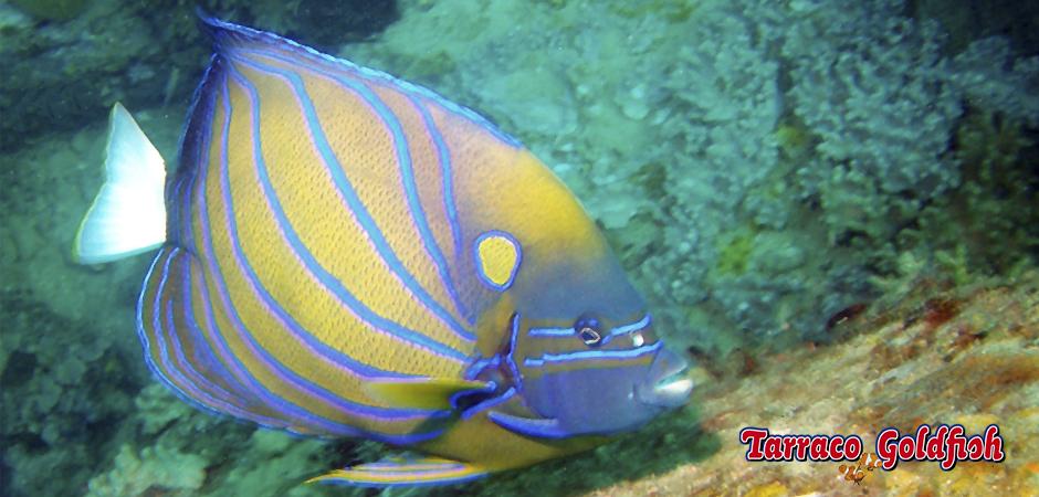 Anularis TarracoGoldfish