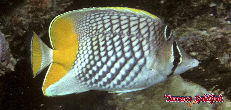 http://www.tarracogoldfish.com/wp-content/uploads/2015/06/Chaetodon-Xanthurus-1.jpg