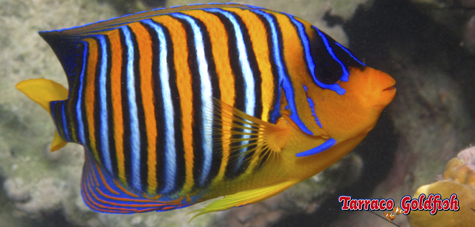 http://www.tarracogoldfish.com/wp-content/uploads/2015/06/Pigoplites-Diacanthus-3-Tarraco-Goldfish.jpg