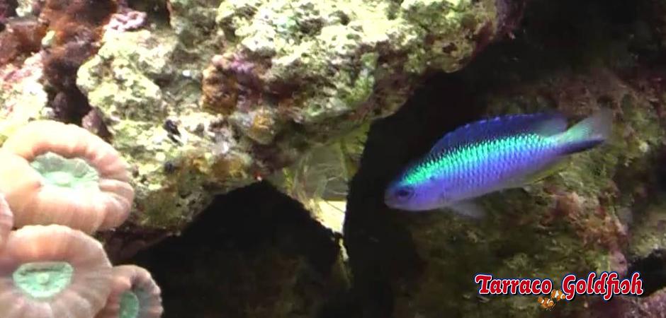 http://www.tarracogoldfish.com/wp-content/uploads/2015/06/alleni-3-Tarraco-Goldfish.jpg