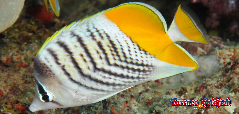 http://www.tarracogoldfish.com/wp-content/uploads/2015/06/chaetodon-Xanthurus-2-tarracoGoldfish.jpg