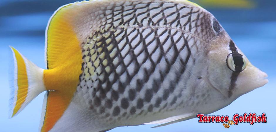 chaetodon xanthurus Tarraco Goldfish