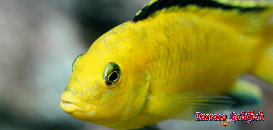 http://www.tarracogoldfish.com/wp-content/uploads/2015/07/Labidochromis-caeruleus1.jpg