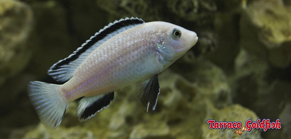 http://www.tarracogoldfish.com/wp-content/uploads/2015/07/Labidochromis-caeruleus3.jpg