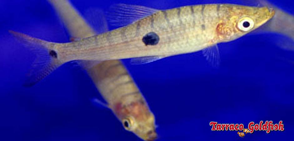 Pseudanos trimaculatus 2