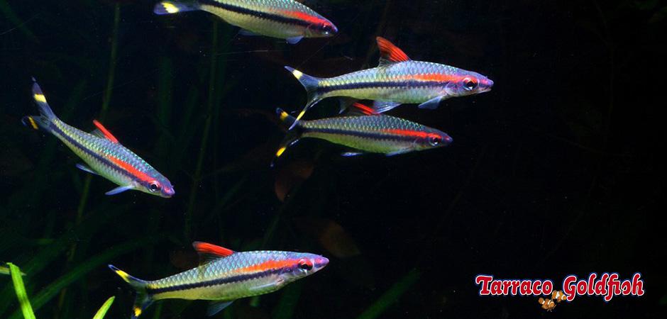 http://www.tarracogoldfish.com/wp-content/uploads/2015/07/Puntius-Denisonii-2.jpg