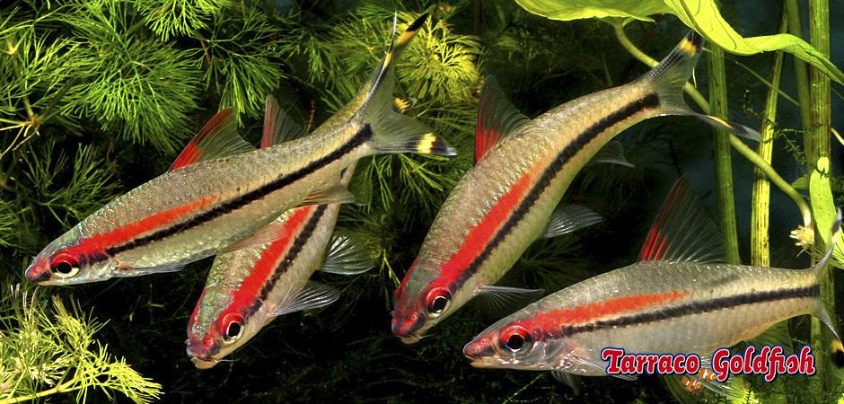 http://www.tarracogoldfish.com/wp-content/uploads/2015/07/Puntius-Denisonii-4.jpg