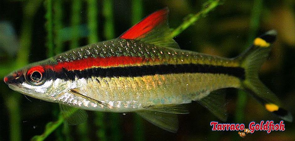 http://www.tarracogoldfish.com/wp-content/uploads/2015/07/Puntius-Denisonii.jpg