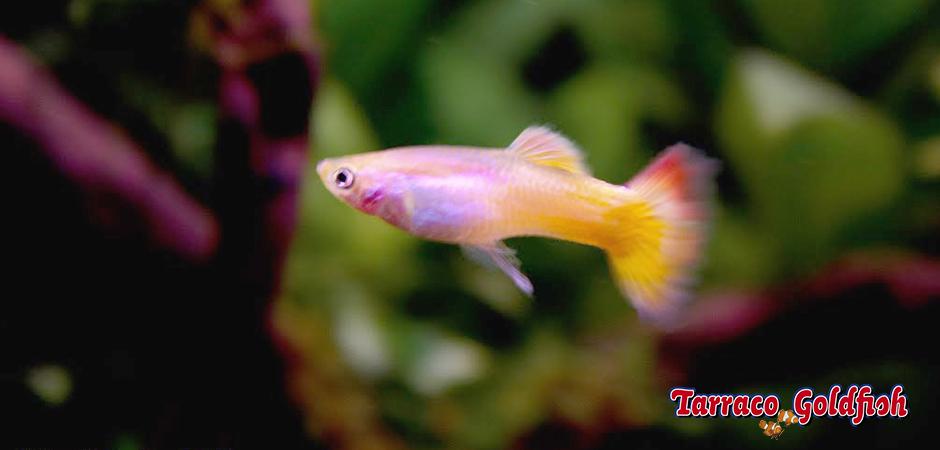 https://www.tarracogoldfish.com/wp-content/uploads/2011/02/Guppy-Hembra-Tarraco-Goldfish.jpg