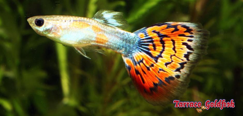 https://www.tarracogoldfish.com/wp-content/uploads/2011/02/Guppy-mascle-Tarraco-goldfish.jpg