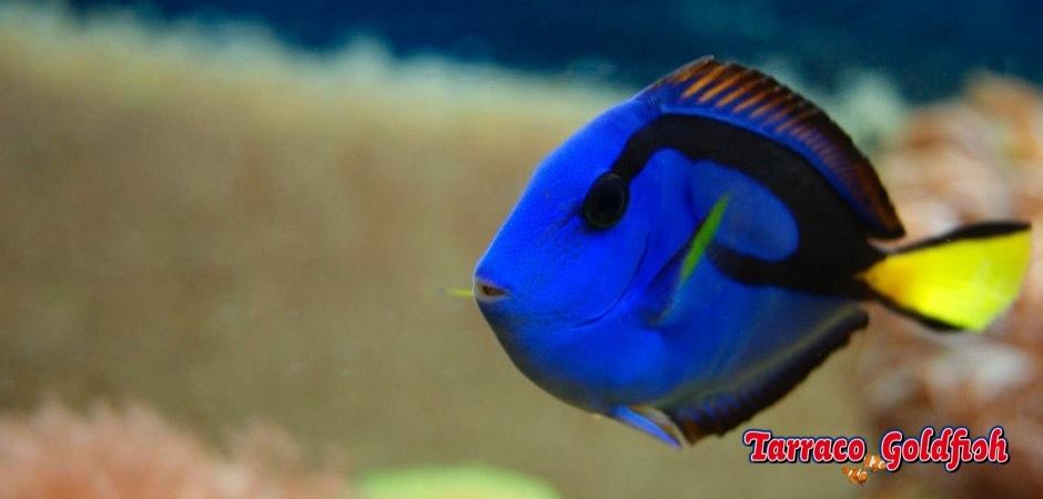 https://www.tarracogoldfish.com/wp-content/uploads/2011/02/Paracanthurus-hepatus.jpg
