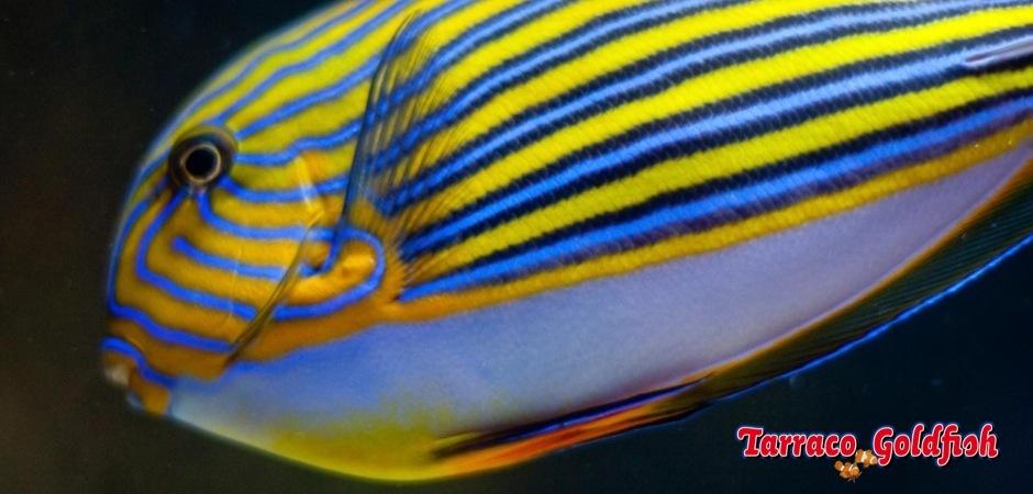 https://www.tarracogoldfish.com/wp-content/uploads/2011/03/Acanthurus-Lineatus-0.jpg