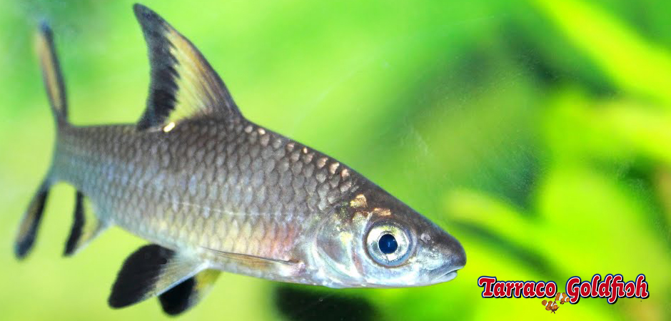 https://www.tarracogoldfish.com/wp-content/uploads/2011/03/Balantiocheilus-melanopterus-3-TarracoGoldfish.jpg