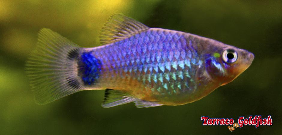 https://www.tarracogoldfish.com/wp-content/uploads/2011/03/Platy-Mickey-mouse-TarracoGoldfish.jpg