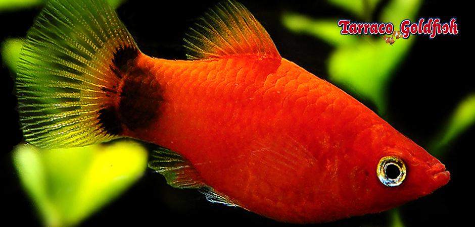 https://www.tarracogoldfish.com/wp-content/uploads/2011/03/Platy-coral-TarracoGoldfish.jpg