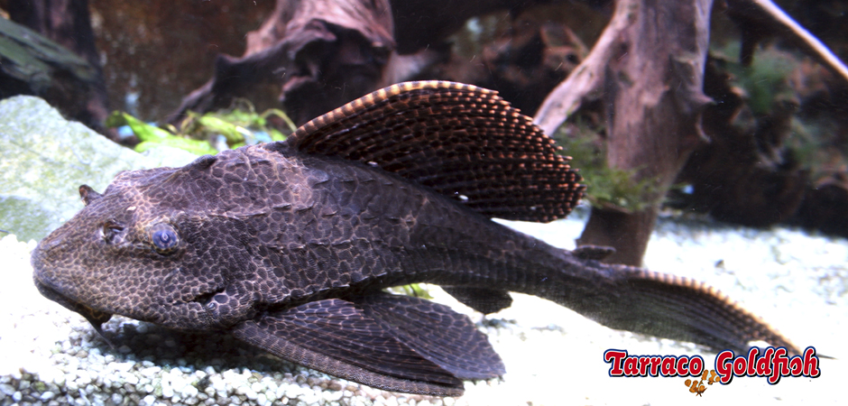 https://www.tarracogoldfish.com/wp-content/uploads/2011/03/Plecostomus-1-TarracoGoldfish.jpg