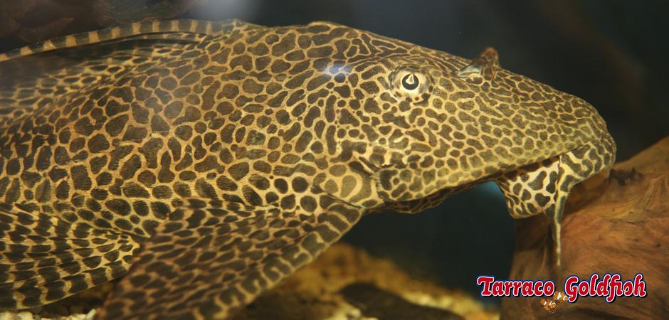 https://www.tarracogoldfish.com/wp-content/uploads/2011/03/Plecostomus-2-TarracoGoldfish.jpg