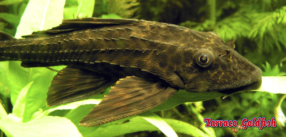 https://www.tarracogoldfish.com/wp-content/uploads/2011/03/Plecostomus-Tarraco-Goldfish.jpg