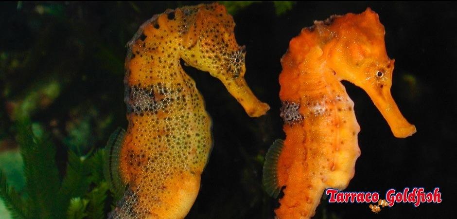 https://www.tarracogoldfish.com/wp-content/uploads/2012/07/Hippocampus-reidi-4.jpg