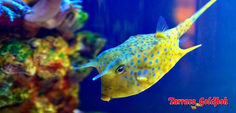 https://www.tarracogoldfish.com/wp-content/uploads/2012/07/Lactoria-cornuta-3.jpg