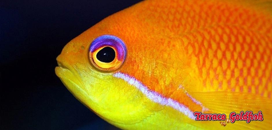 https://www.tarracogoldfish.com/wp-content/uploads/2012/07/Pseudanthias-Squamipinnis-0.jpg