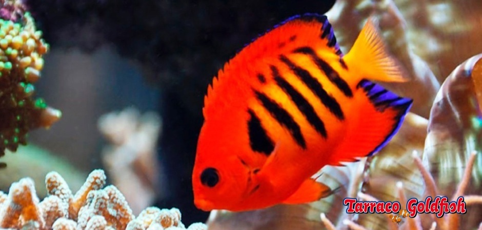 https://www.tarracogoldfish.com/wp-content/uploads/2012/07/centropyge_loriculus4.jpg