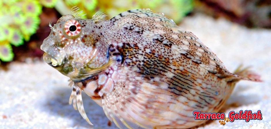 https://www.tarracogoldfish.com/wp-content/uploads/2012/07/salarias-fasciatus.jpg