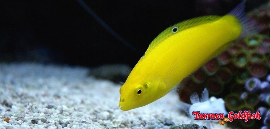 https://www.tarracogoldfish.com/wp-content/uploads/2013/07/Hailchoeres-Chrysus-1.jpg