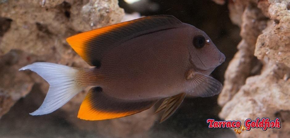 https://www.tarracogoldfish.com/wp-content/uploads/2013/08/Ctenochaetus-Tominiensis-3.jpg