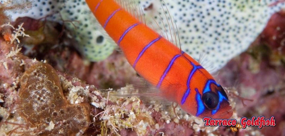 https://www.tarracogoldfish.com/wp-content/uploads/2013/08/Lythrypnus-Dalli21.jpg