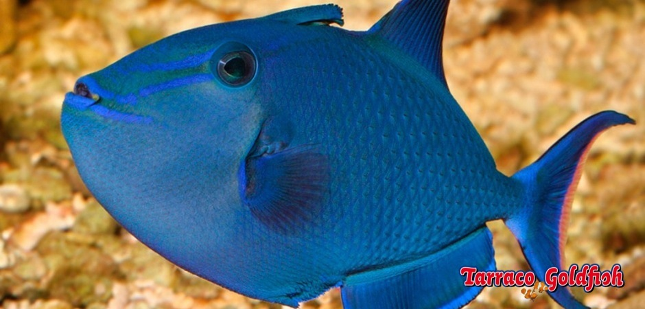 https://www.tarracogoldfish.com/wp-content/uploads/2013/08/Odonus-Niger-2.jpg