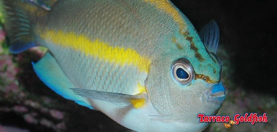 https://www.tarracogoldfish.com/wp-content/uploads/2013/09/Genicanthus-Bellus-male2.jpg